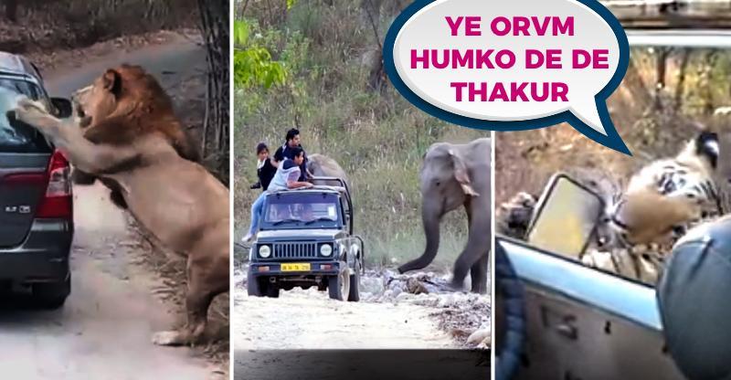 Tiger vs Bolero, Rhino vs Ecosport, Lion vs Innova; जानवर क्यों हमला करते हैं गाड़ियों पर?