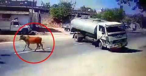 ट्रक ड्राईवर ने सड़क पर गाय को कुछ इस तरह से बचाया…