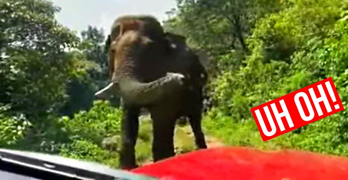 उच्च तनाव के क्षण जब जंगली हाथी संकीर्ण जंगली रास्ते पर SUV से मिलता है